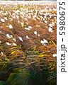 風になびくススキ(さくら草公園/埼玉県さいたま市桜区) 5980675