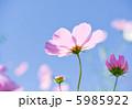 コスモスの花 花 コスモスの写真 5985922