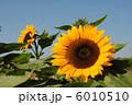 サンリッチオレンジ ひまわり ヒマワリの写真 6010510