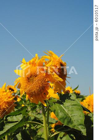 ひまわり(向日葵)【大阪万博記念公園の自然文化園「花の丘」で撮影しました】品種は「マティス」 です。 6010517