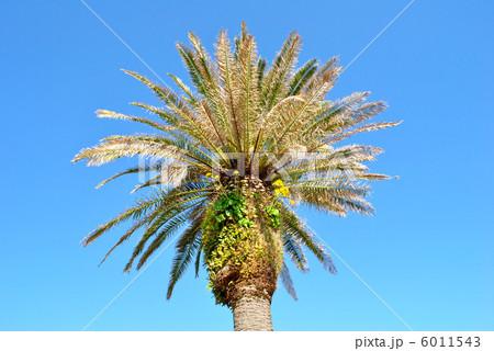 ヤシの木につわぶき 6011543