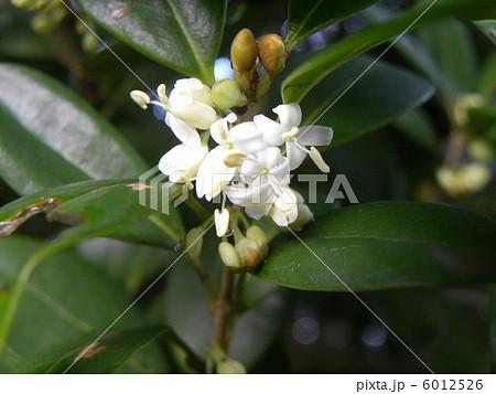 キンモクセイの仲間ギンモクセイの白い花 6012526