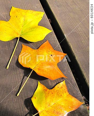 チューリップツリーの黄葉 6014634