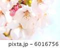 桜の花 染井吉野 櫻の写真 6016756