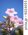 凌霄花 のうぜんかずら ノウゼンカヅラの写真 6024055