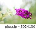 ブッドレア フサフジウツギ ハーレクインの写真 6024130