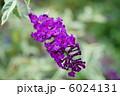 ブッドレア フサフジウツギ ハーレクインの写真 6024131