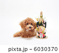 トイプードル プードル 犬の写真 6030370
