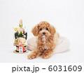 トイプードル プードル 犬の写真 6031609