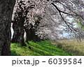 一目千本桜 桜まつり さくらの写真 6039584