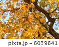 紅葉葉楓 モミジバフウ 紅葉の写真 6039641