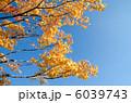 イロハカエデの黄葉と空 6039743