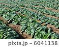 ホウレンソウ ほうれんそう ホウレン草の写真 6041138