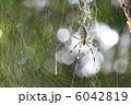 ジョロウグモ 女郎蜘蛛 上臈蜘蛛の写真 6042819