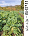 根菜 野菜畑 大根の写真 6043785