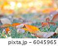 木の葉 枯れ葉 葉っぱの写真 6045965