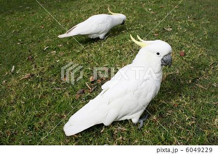 Cockatoos in parkの写真素材 [6049229] - PIXTA