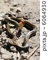 縦位置のシマヘビの幼蛇を食べるシマヘビの成蛇 6064930