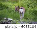 釧路湿原/エゾシカ 6066104
