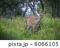 釧路湿原/エゾシカ 6066105