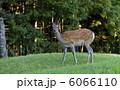 雌鹿 蝦夷鹿 エゾシカの写真 6066110