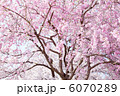 枝垂れ桜 6070289