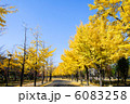 大阪城公園のイチョウ 6083258