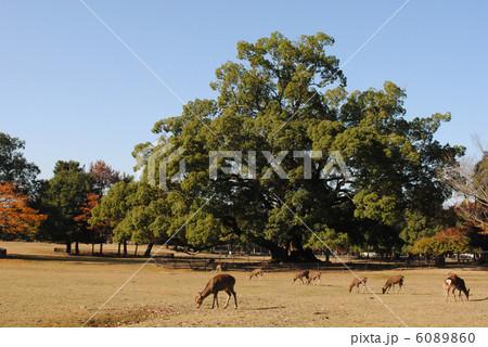 飛火野の風景と鹿(奈良公園にて撮影) 6089860