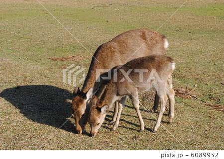 親子鹿(奈良公園・飛火野にて撮影) 6089952