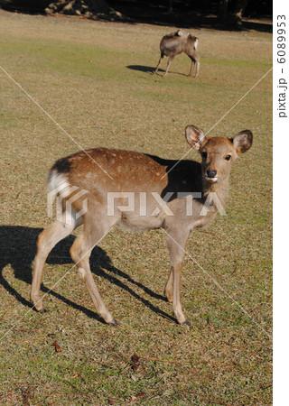 子鹿(奈良公園・飛火野にて撮影) 6089953