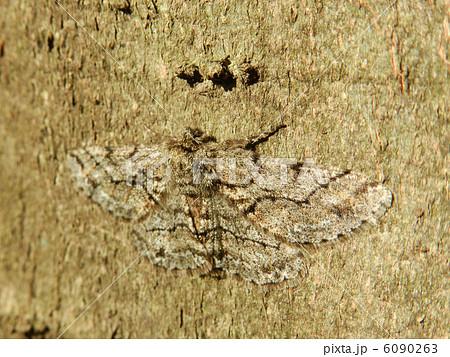 榎の樹皮に擬態して越冬する蛾?? 6090263