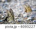 ナミアゲハ アゲハ蝶 吸水行動の写真 6093227