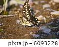 ナミアゲハ アゲハ蝶 吸水行動の写真 6093228