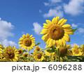 ヒマワリ畑 ひまわり ヒマワリの写真 6096288