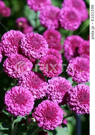 スプレー菊 タシンダピンク ロリポップパープル 6101396