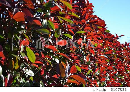 シラカシの紅葉 6107331