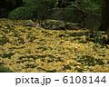 庭園の散り銀杏 6108144