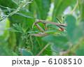 オオカマキリ 肉食性昆虫 かまきりの写真 6108510