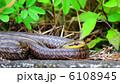 シマヘビ 縞蛇 爬虫類の写真 6108945