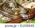 シマヘビ 縞蛇 爬虫類の写真 6108946