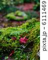 コケ かえで 苔の写真 6111469
