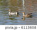 オナガガモ 尾長鴨 鴨の写真 6113608