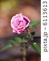 荒川自然公園の濃いピンク色のバラの花 6113613