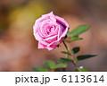 荒川自然公園の濃いピンク色のバラの花 6113614