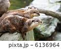 コツメカワウソ カワウソ 川獺の写真 6136964