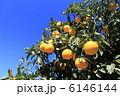 八朔 蜜柑 ハッサクの写真 6146144
