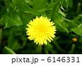 蒲公英 関東蒲公英 花の写真 6146331