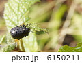 ハムシ 葉虫 ハッカハムシの写真 6150211