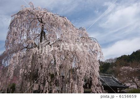 大野寺・満開の枝垂れ桜 6156659