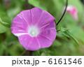 アサガオの花 朝顔の花 あさがおの花の写真 6161546